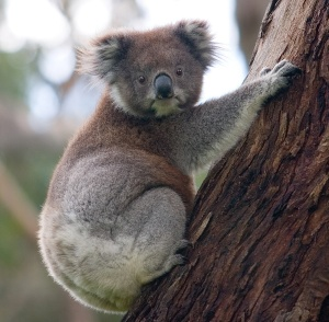 The koala is a threatened species in Australia. Chris Sanderson argues that citizen science could provide better protections for koalas and other threatened spices.  Photo credit: Wikimedia Commons